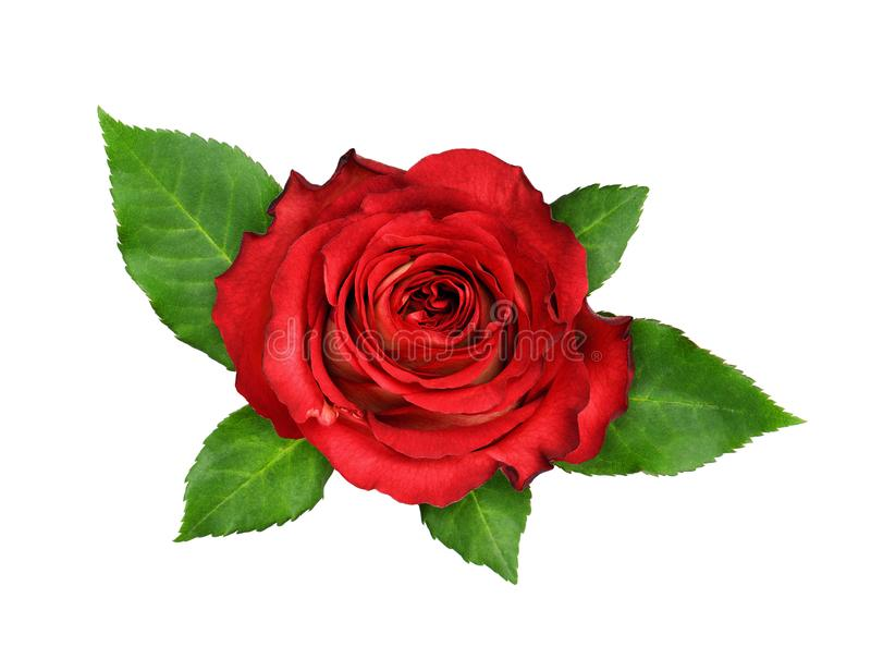 Red rose flower and green leaves royalty free stock photo