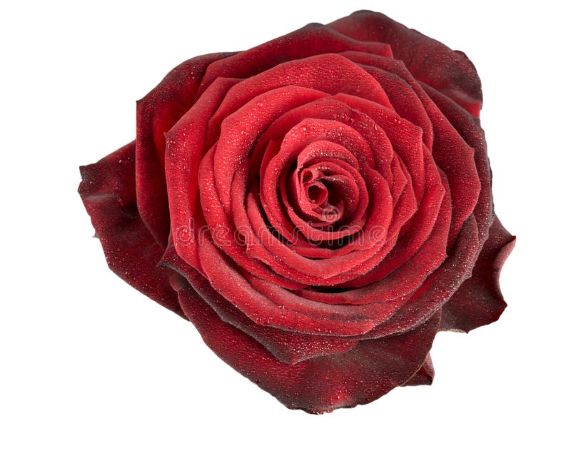 Red rose flower isolated royalty free stock photography