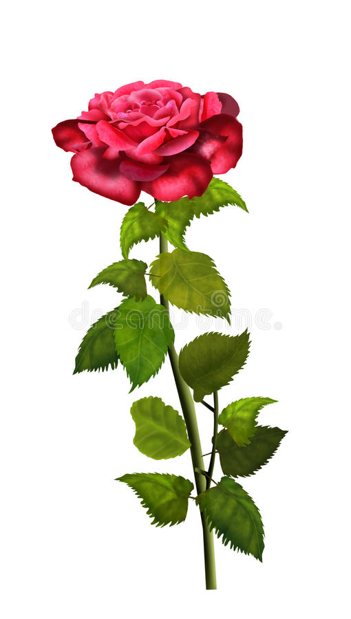 Rose isolated on white vector illustration