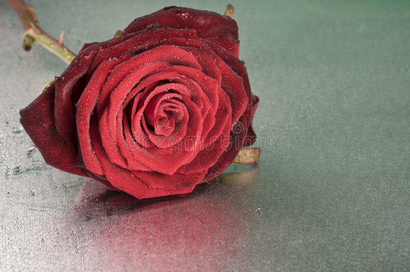 Download Red Rose Flower Lying On Wet Surface Stock Image - Image of high, nature: 28916187
