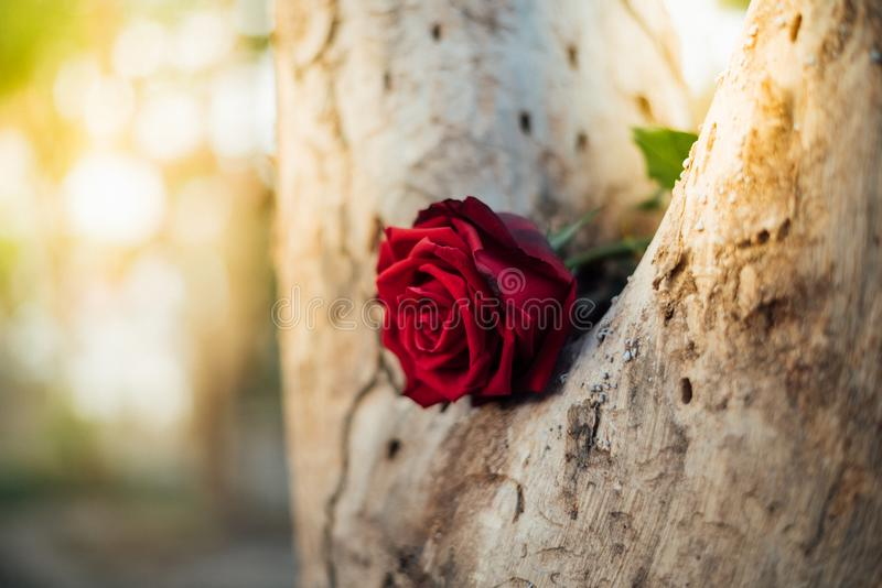 Red rose flower on tree wood in Valentine`s Day royalty free stock image