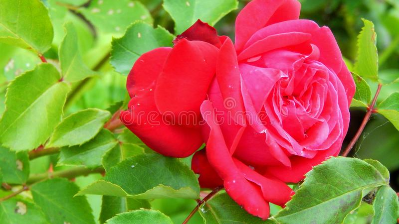 Red rose flower side view royalty free stock images