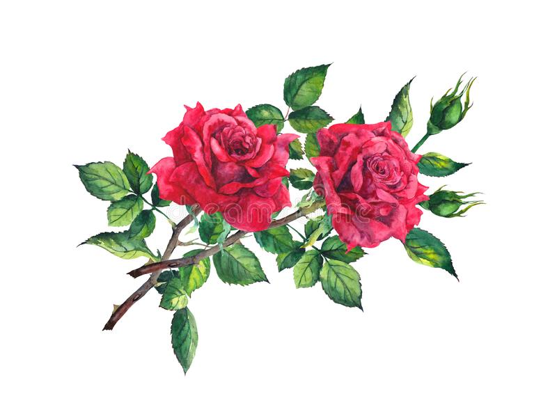 Red rose flower - stem with leaves. Watercolor stock illustration