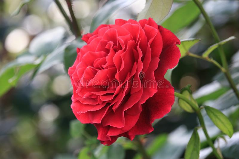 Red Rose flower on sunset. On summer in the garden stock photo