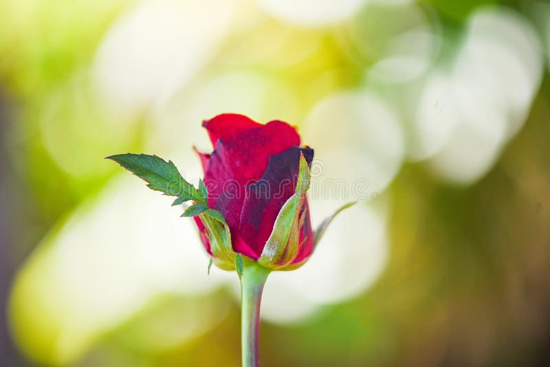 Red rose flower Valentines day nature background for lover concept / bud rose fresh royalty free stock photography