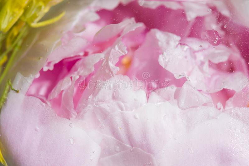 Red rose flower in water with bubbles behind glass royalty free stock photos