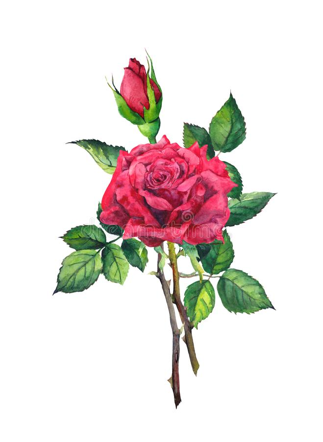 Red rose flower - stem with leaves. Watercolor vector illustration