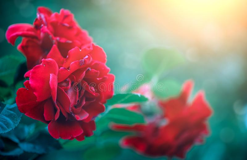 Red rose flowers blooming over sunset. Beautiful Roses growing in summer garden. Gardening royalty free stock photo