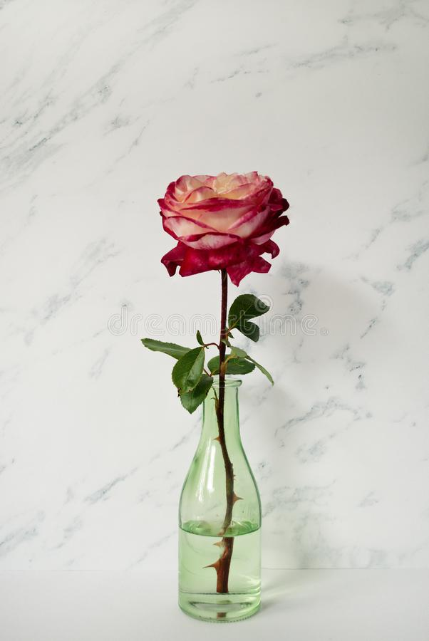 Red rose in front of pale marble background. Floral lifestyle composition. Red rose in front of pale marble background. Floral lifestyle composition royalty free stock image