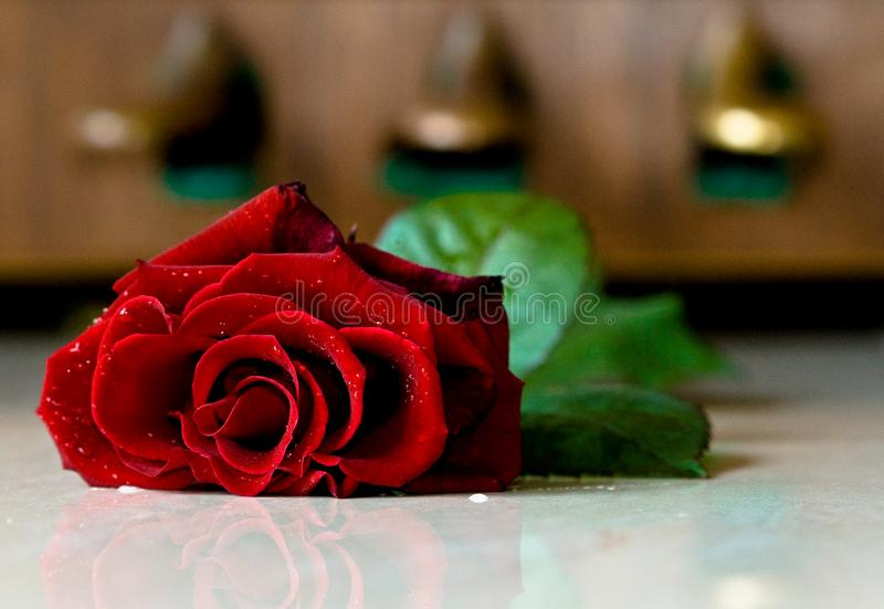 Red rose in front of the piano pedals royalty free stock photography