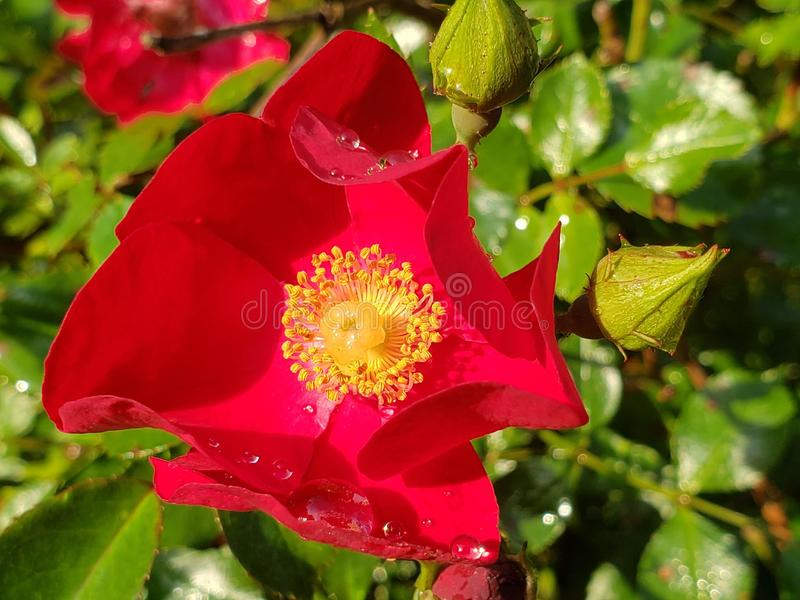 Red rose in full bloom royalty free stock photography