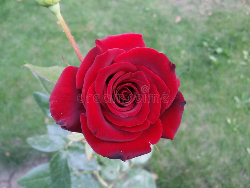 Red rose in the garden stock photography