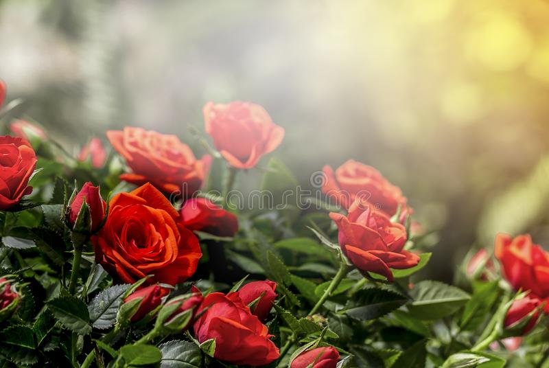 Red rose in garden with blurred soft light background royalty free stock photography