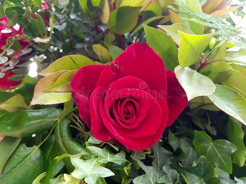 Red rose in a garden royalty free stock images