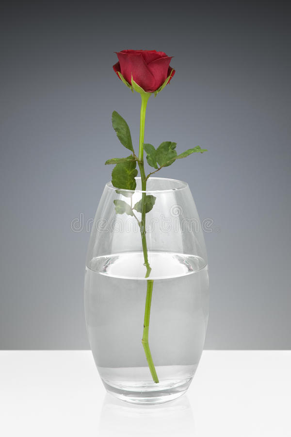 Red rose in a glass vase stock image