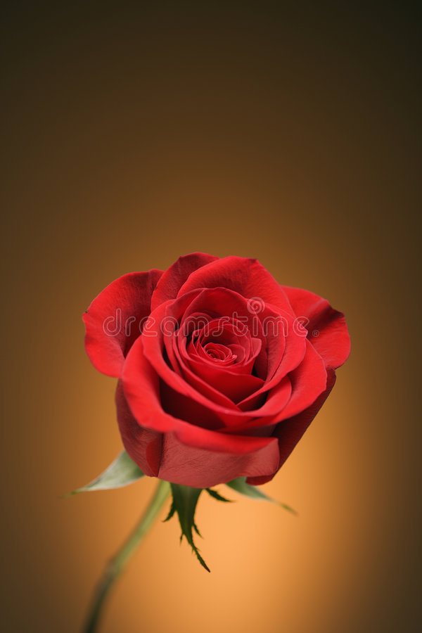 Red rose on gold. Single long-stemmed red rose against golden background royalty free stock photo
