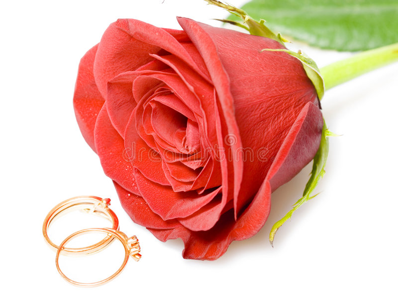 Red rose and gold wedding rings. Isolated on white royalty free stock photos
