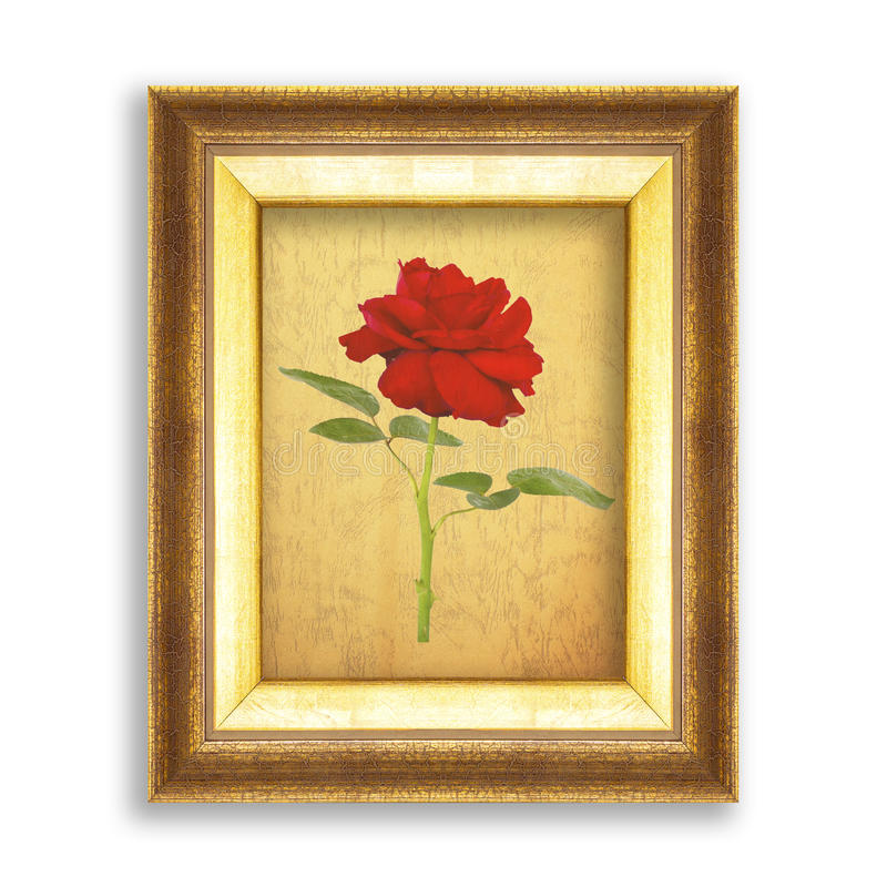 red rose on golden frame with empty grunge paper for your picture, photo, image. beautiful vintage background royalty free stock photos
