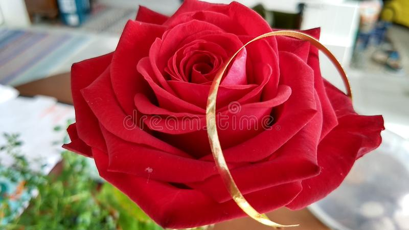 The red rose with a golden ribbon royalty free stock photo