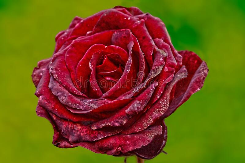 Red Rose With Green Background stock photo