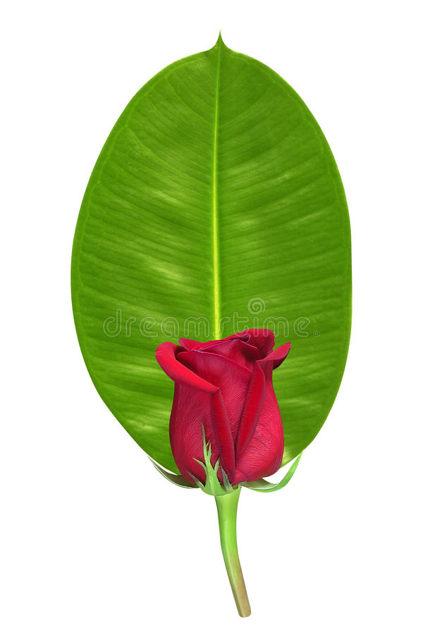 Download Red rose on green leaf stock photo. Image of concept - 22111044