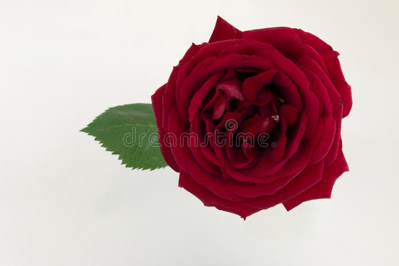 Red rose stock image
