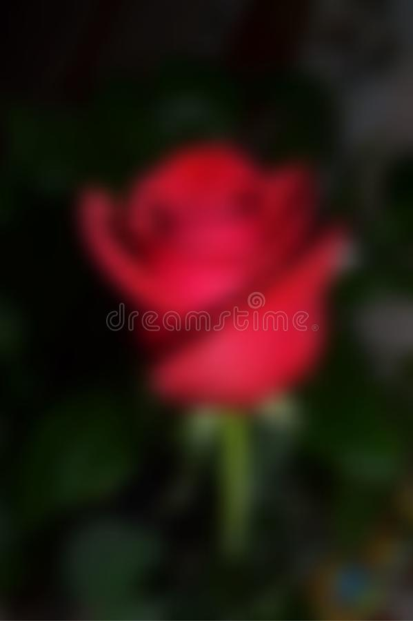 Red rose on a green leaf background stock photo