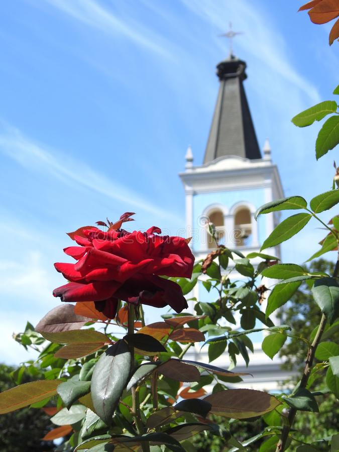 A red rose and green leaves. In the background, a blurred tower of a church. royalty free stock images