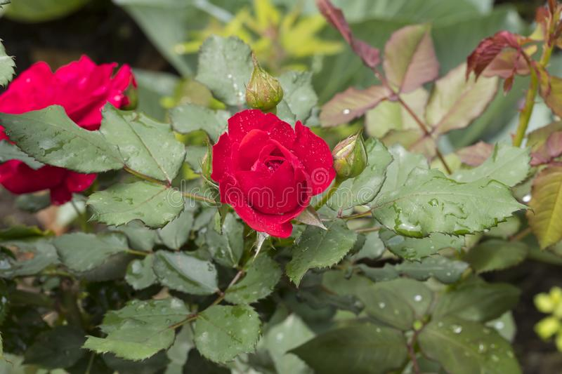 Red rose with green leaves stock photography