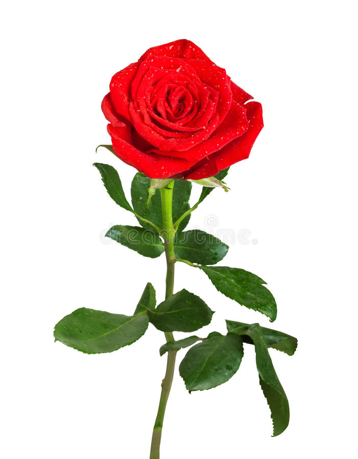 Red rose with green leaves stock photo