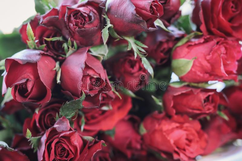 Red rose group for giving on the day of love. Blurred scene stock image