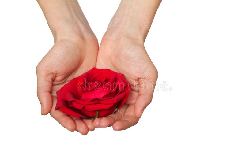 Red rose in hands over white background. royalty free stock image