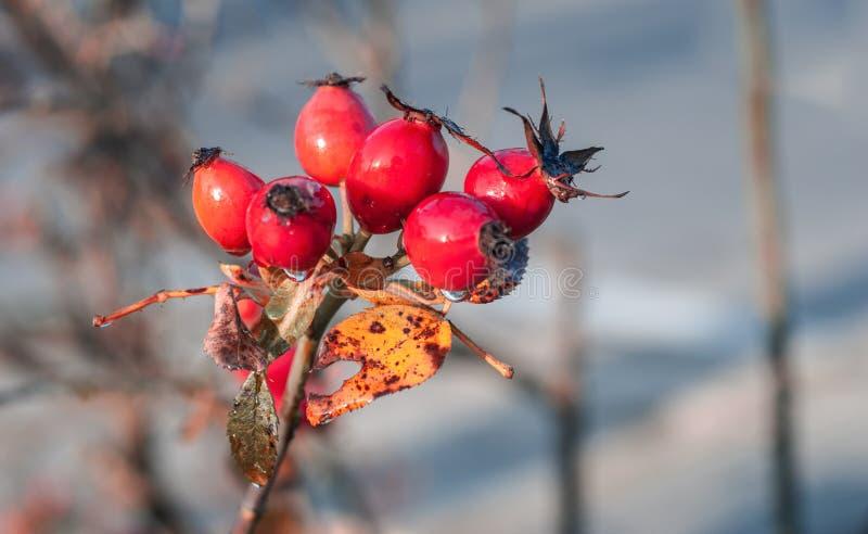 Red Rose Hip on a Bush. stock photos