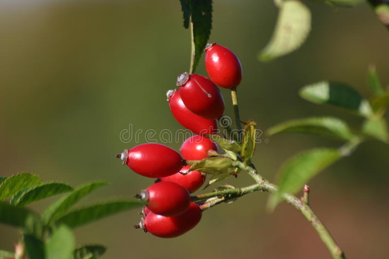 Red rose hips. Bunch of red dog rose (Rosa canina) hips on a stalk with leaves and blurred vegetation as the background royalty free stock photo