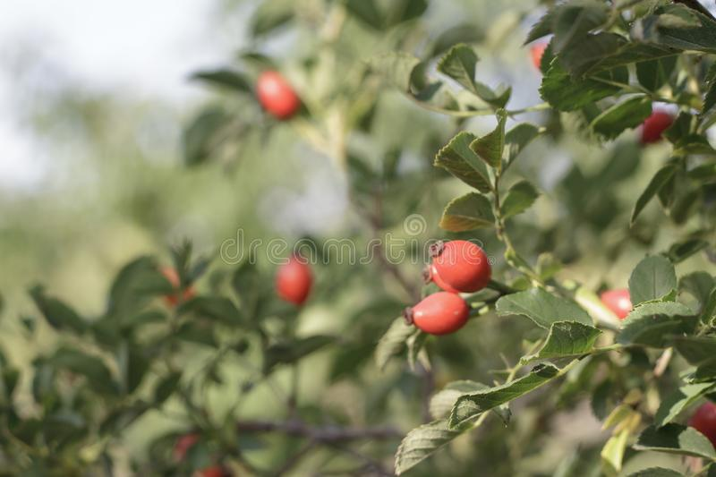 Red Rose Hips na primavera imagens de stock royalty free