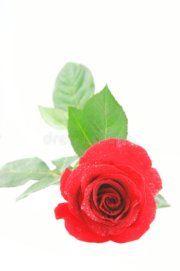 Red rose isolated. On white background stock photos