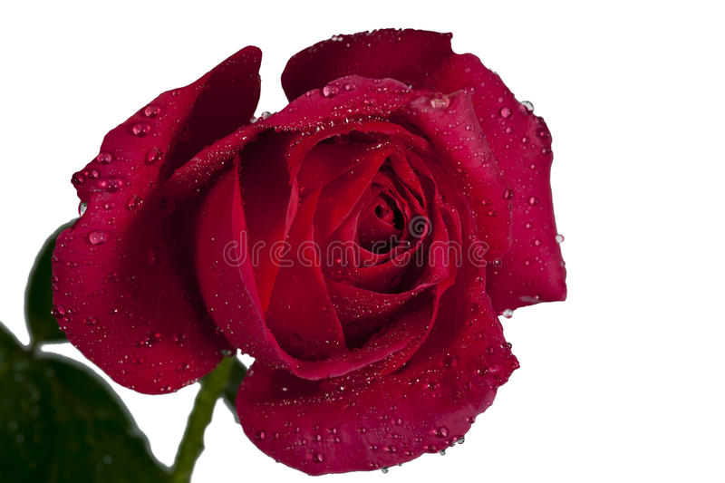 Red Rose Isolated. An partially opened red rose covered with dew drops and isolated on white background royalty free stock photography