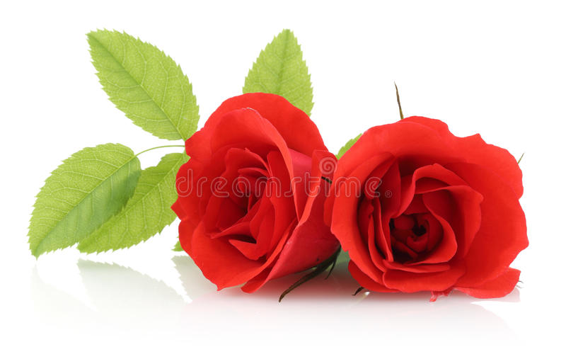 Red Rose. Isolated on a white background royalty free stock image
