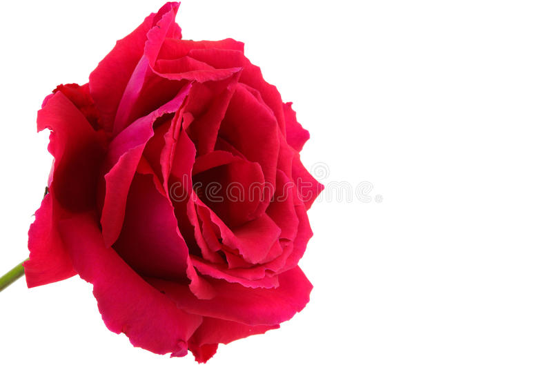 Red rose. Isolated on white background stock photography