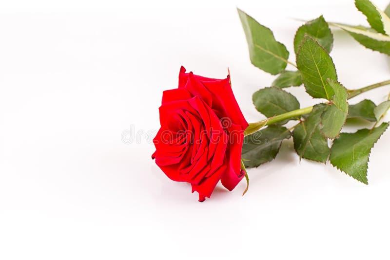 A red rose stock photos