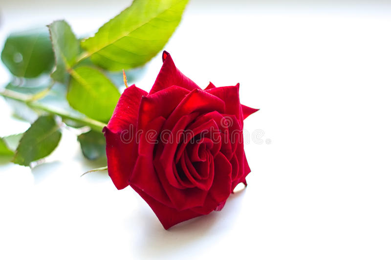 A red rose stock image