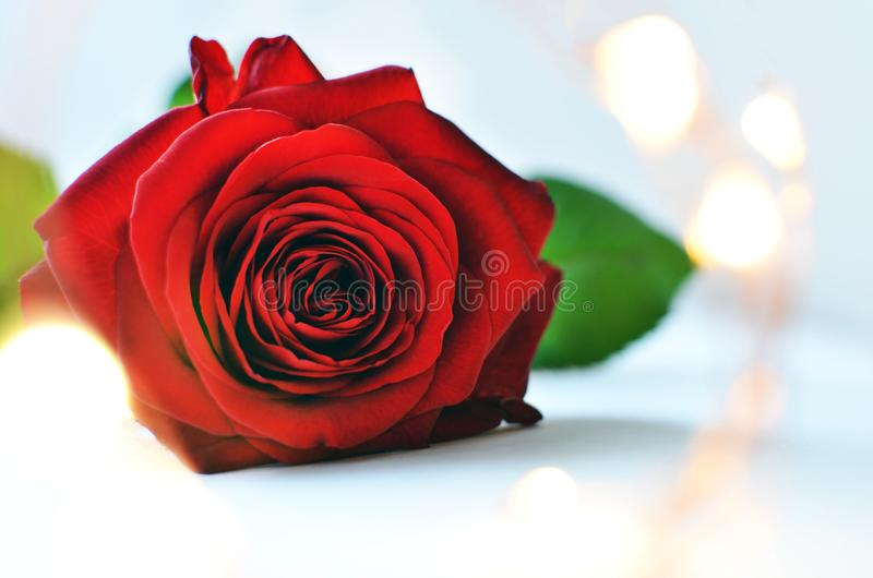 Red rose on light blue background and fairy lights close-up with space for text. stock photos