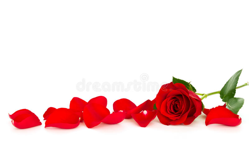 Red rose with loose petals royalty free stock image