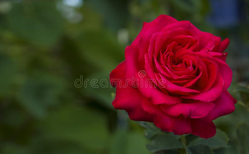 Red rose for lovers royalty free stock photo