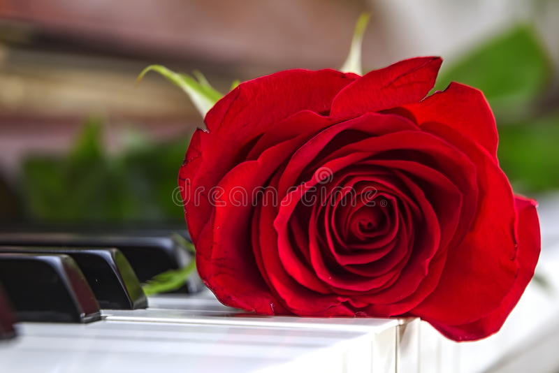 Red rose is lying on piano royalty free stock images
