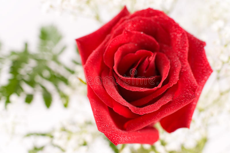 Download Red rose, macro stock image. Image of blossom, super - 16528101