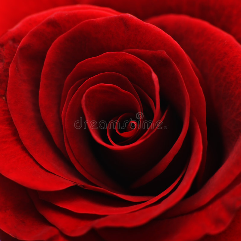 Red rose macro royalty free stock image