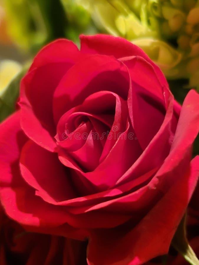 Red rose macro close-up. Detail royalty free stock photo