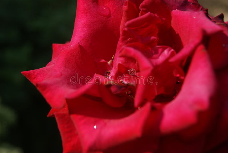 Red rose. In macro on dark background stock photos