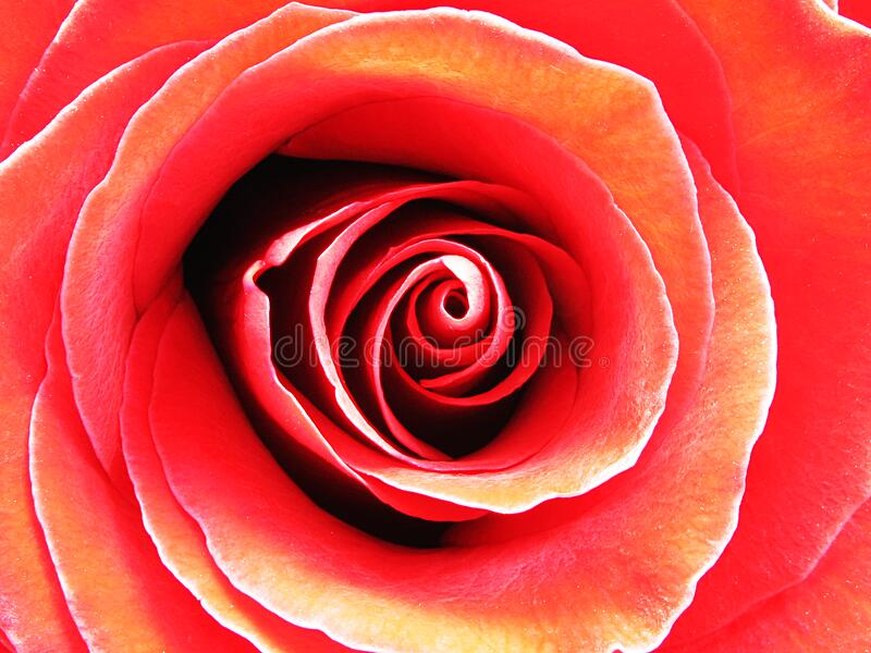 Red Rose In Macro Photography Free Public Domain Cc0 Image